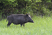 Wild boar in summer, Sus scrofa, Female, Hesse, Germany, Europe