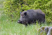 Wild boar in summer, Sus scrofa, Tusker, Germany, Europe
