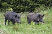 Wild boars in springtime, Bavaria, Germany, Europe