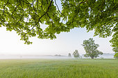 Branches of chestnut tree in morning mist, Hesse, Germany, Europe