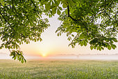 Branches of chestnut tree in morning mist at sunrise, Hesse, Germany, Europe