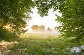 Trees at sunrise in summer, Black alder, Hesse, Germany, Europe