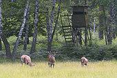 Red deers in front of hunting hide, Summer, Germany, Europe