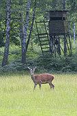 Red deer in front of hunting hide, Cervus elaphus, Summer, Germany, Europe