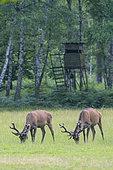 Red deers in front of hunting hide, Cervus elaphus, Summer, Germany, Europe