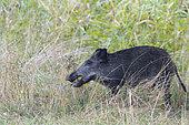 Wild boar eats apple, Sus scrofa, Germany, Europe