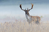 Fallow deer on misty morning, Cervus dama, Germany, Europe
