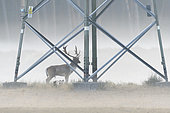 Fallow deer in front of high-voltage power line on misty morning, Cervus dama, Germany, Europe