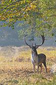 Fallow deer in autumn, Cervus dama, Germany, Europe
