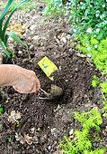Planting of seeds o Nasturtium (Tropaeolum majus) in spring