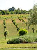 Truffle oak plantation, France