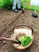 Oignon potager (Allium cepa) repiquage, ambiance