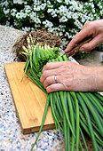 Oignon potager (Allium cepa) repiquage, step 1
