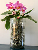 Exotic pink flowering orchid in a glass pot