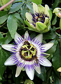 Passion flower (Passiflora sp) with honey bees (Apis mellifera) foraging and pollinating, Albi, Tarn, France