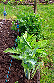 Vegetable garden, perennials and vegetables: celery, sorrel, artichoke, chive