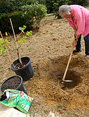 Planting a vine stock, digging the planting hole