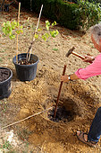 Planting a vine stock, installation of the stake