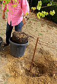 Planting a vine stock, installation of the root ball