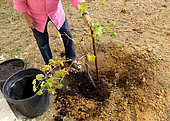 Planting a vine stock, positioning of the root ball