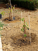Planting a vine stock, staked plant