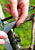 Vine pruning with knife with suppression of twist, évrillage, La Madarnié, Lombers, Tarn, France