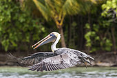 Brown pelican (Pelecanus occidentalis) in flight, Cayo LImon, Gulf of Honduras, Belize
