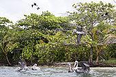 Brown pelican (Pelecanus occidentalis) fishing, Cayo LImon, Gulf of Honduras, Belize