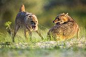Eurasian golden jackal (Canis aureus moreoticus) fighting, Danube delta, Romania