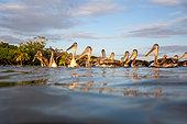 Brown pelican, Pelecanus occidentalis. Livingston (Guatemala)