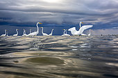 Great egret (Egretta alba) in the water, mouth of the Rio Dulce, Gulf of Honduras, Livingston, Guatemala.