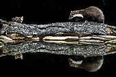 Beech marten, Martes foina. Extremadura (Spain)