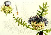 Ancient Botanical Plank, Artichoke (Cynara scolymus)