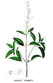 Ancient Botanical Plank, Common Basil (Ocimum basilicum)