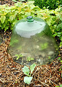 Protective glass bell in the vegetable garden to protect vegetables from cold and pests