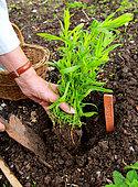 Planting of a plant of Tarragon (Artemisia dracunculus)