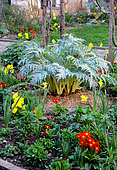 Spring bed with artichoke (Cynara sp), daffodil and narcissus (Narcissus sp), primroses (Primula sp), various bulbous plants and foliage