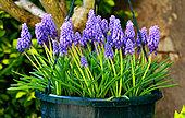 Suspension of Muscari in bloom in springtime