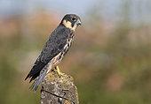 Eurasian Hobby (Falco subbuteo) young on a post, Tuscany, Italy