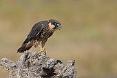 Eurasian Hobby (Falco subbuteo) young on dead tree, Tuscany, Italy