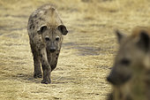 A playful approach by a Spotted Hyena (Crocuta crocuta) in Uganda.