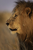 A male Lion (Panthera leo) looks on in the Maasai Mara National Park, Kenya.