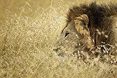Lion (Panthera leo) Mâle dans les herbes sèches, parc national de Masaï Mara, Kenya.