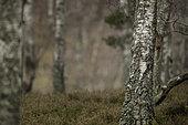 A Red Squirrel (Sciurus vulgaris) explores his surroundings in the Cairngorms National Park, Scotland.