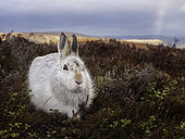 A Mountain Hare (Lepus timidus) rests in the Cairngorms National Park, Scotland.