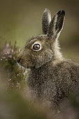 A Mountain Hare (Lepus timidus) in summer coat in the Cairngorms National Park, Scotland.