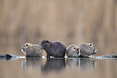 Coypu (Myocastor coypus) line up on driftwood near Lake Kerkini, Greece.