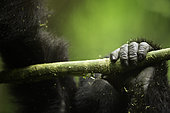 The hand of a young Mountain Gorilla (Gorilla beringei beringei) in Uganda.