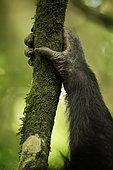 The hand of a Chimpanzee (Pan troglodytes) in Uganda.