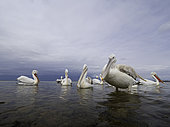 Several Dalmatian Pelicans (Pelecanus crispus) perch on the shores of Lake Kerkini, Greece.